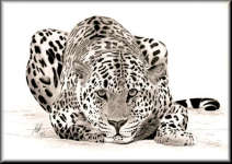 a pencil drawing of a Leopard