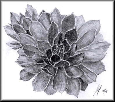 Sempervivens - a pencil drawing by John W. Johnston