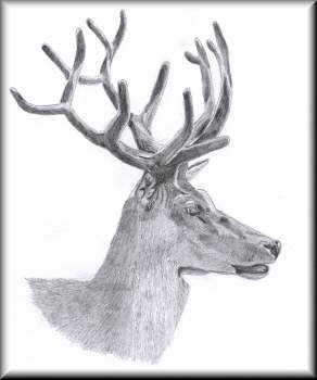 Stag - a pencil drawing by John W. Johnston