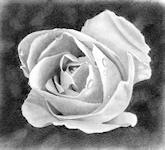 """White Rose""<br/>Graphite on Daler Rowney smooth Heavyweight paper - 5"" x 5"""
