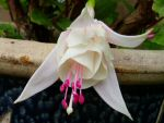 Fuchsia - Happy Wedding Day