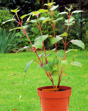 Photograph showing Fuchsia before pruning