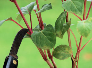 Photograph showing where to prune Fuchsia